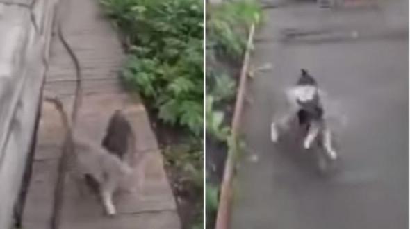 Российская миниатюрная собачка «подвозит» на себе кота