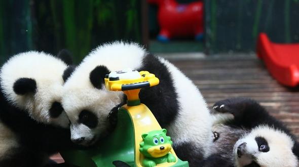 Интересные фото: как растет тройня большой панды