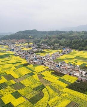 Цветение рапса в уезде Инцзин, пров. Сычуань
