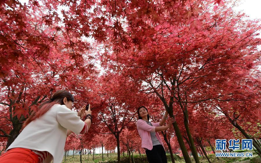 Очаровательные красные листья в городе Чунцин