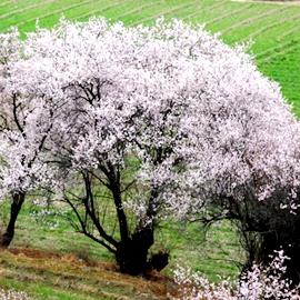 Уезд Линьчжи в Тибете: цветущее море персиков на высокогорье