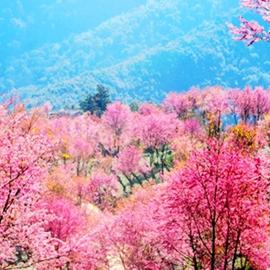 Зимнее цветение сакуры на горе Уляншань в г. Дали, пров. Юньнань