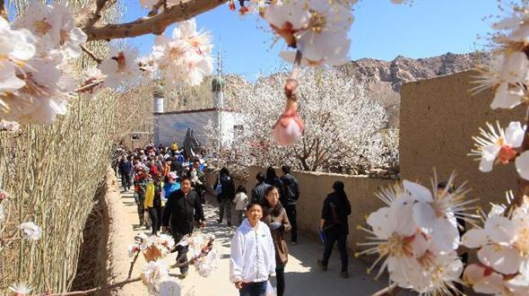 Очаровательные цветы абрикоса в г. Хами, Синьцзян-Уйгурский автономный район
