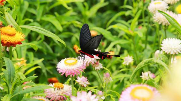 Красивые бабочки в море цветов в Цзыгуе
