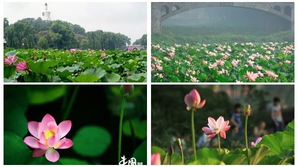 В Пекине начался сезон цветения лотоса