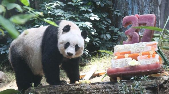 Панда-долгожительница