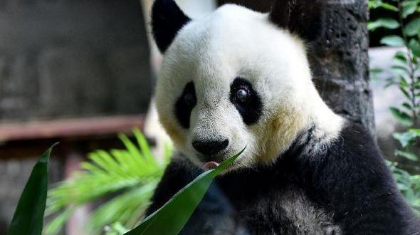 Гигантская панда 'Ба Сы' будет отмечать 35 летний день рождения