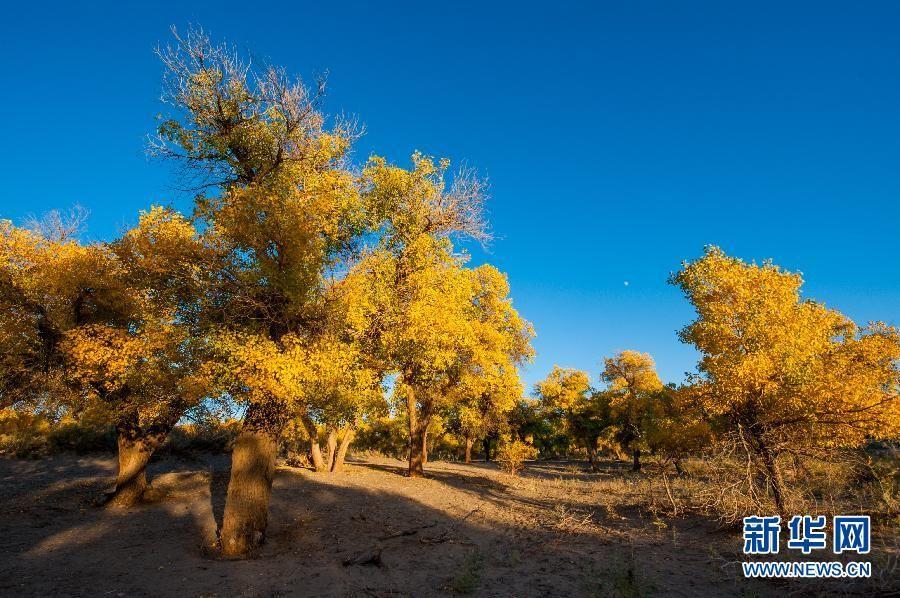 Тополя нарядились в осеннее золото, Внутренняя Монголия