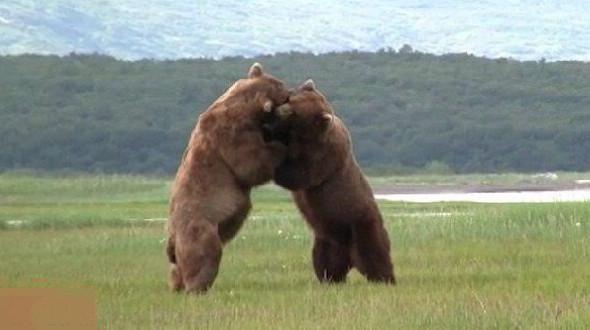 Два медведя гризли не поделили обед