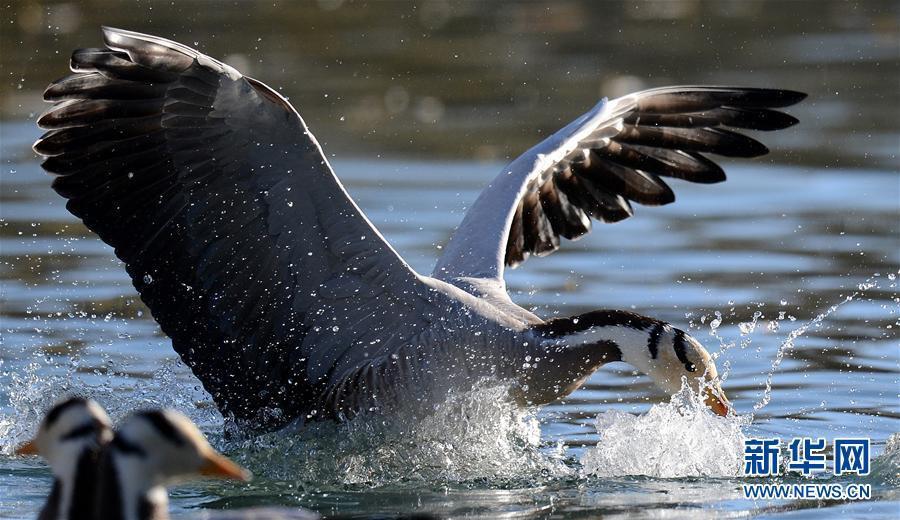 Горные гуси и озерные чайки прилетают в Лхасу на зимовку