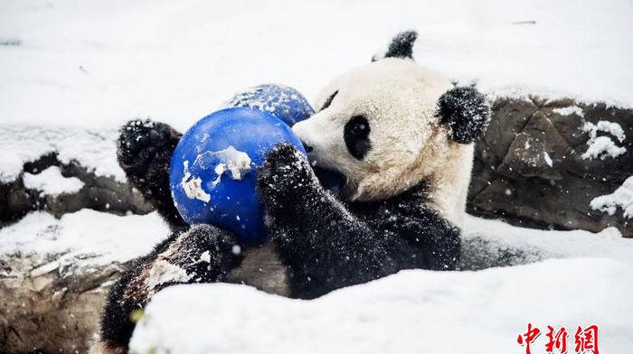 Бамбуковая панда, развлекающаяся во снегу