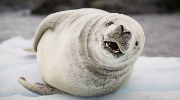 Смеющийся тюлень