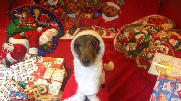 Собака-модель снялась для рождественских фотографий