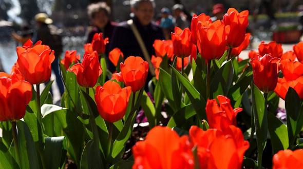 Путешествие в Куньмин: когда цветут тюльпаны