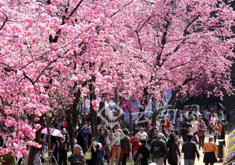 На юге Китая в городе Куньмин провинции Юньнань расцветает сакура