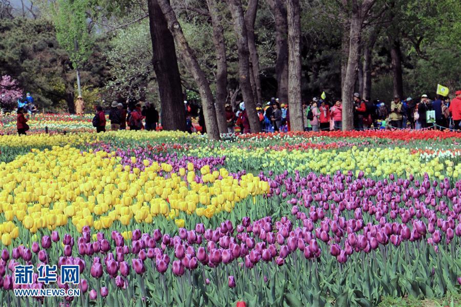 Цветущие тюльпаны в Пекинском ботаническом саду