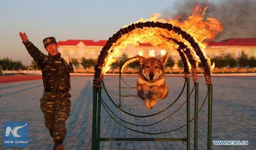 Тренировки бравых служебных собак вооруженной полиции Китая