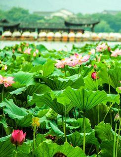 Озеро Сиху в г. Ханчжоу: лотос