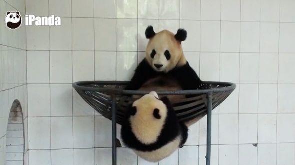 【Панда】 Уступите ребенку место!