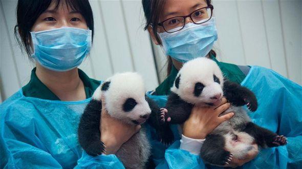 Панды-близнецы из Аомэня вновь показались на публике