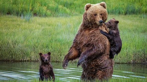 Любящая мать нести медвежонка на спине через реку