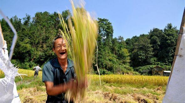 Сбор урожая органического риса на востоке Китая