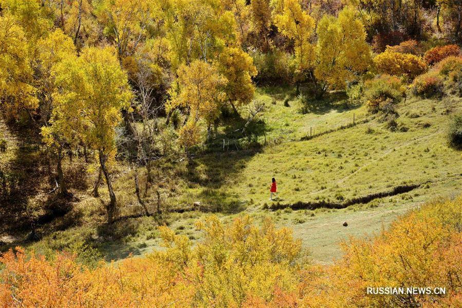 Осенний березовый лес во Внутренней Монголии