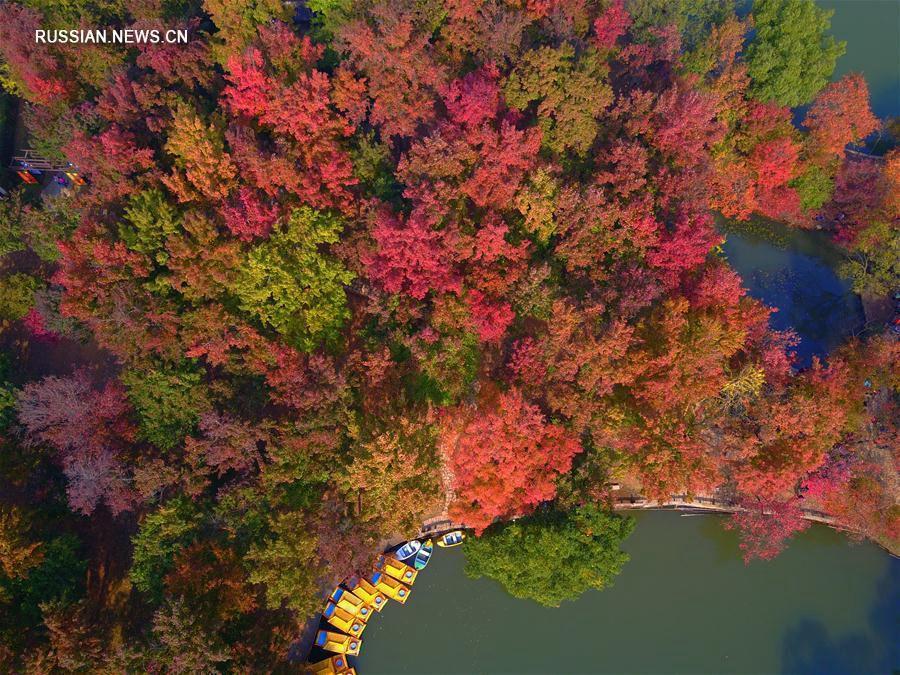 'Разноцветные' клены парка Тяньпиншань в Сучжоу