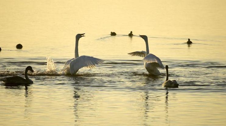 Зимующие лебеди в провинции Шаньдун