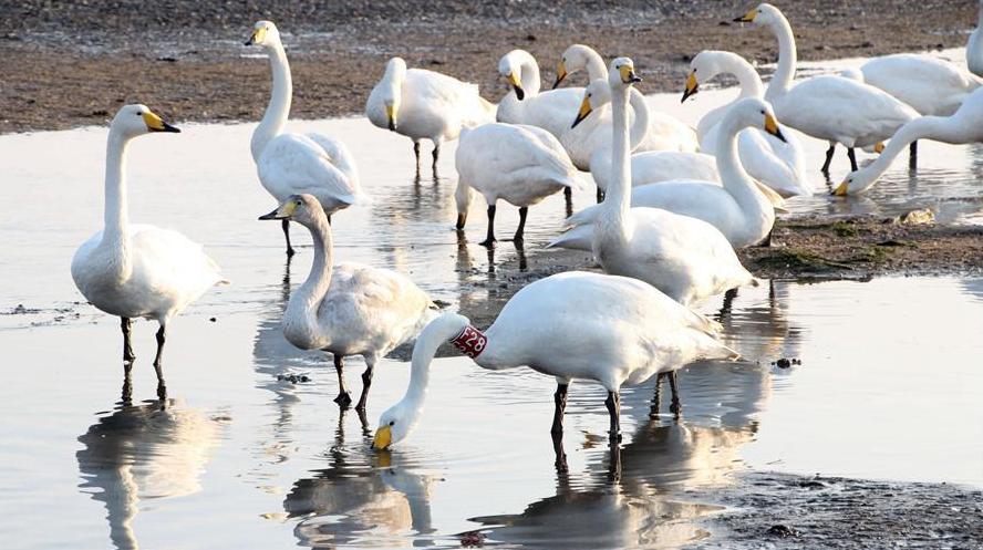 В уезд Жунчэн 10-й год подряд прилетают зимовать лебеди-кликуны, окольцованные по международному стандарту