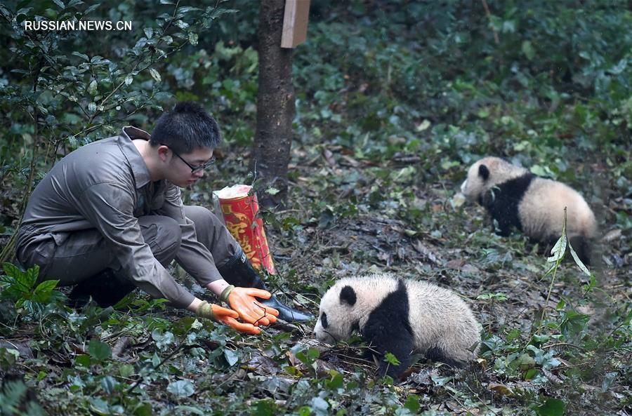 Детеныши панды встретили свой первый Новый год