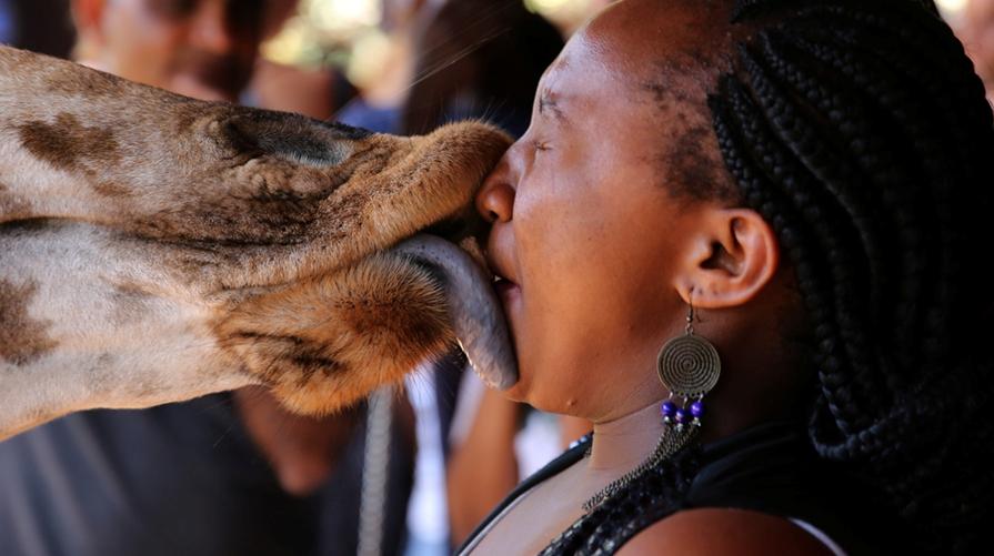 Близкое соприкосновение людей с жирафами