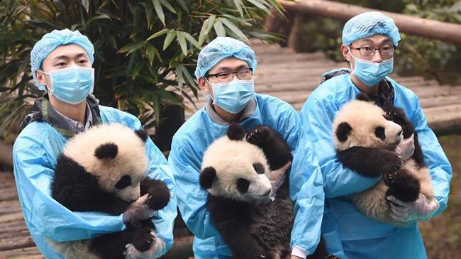 Детеныши панды встречают Новый год