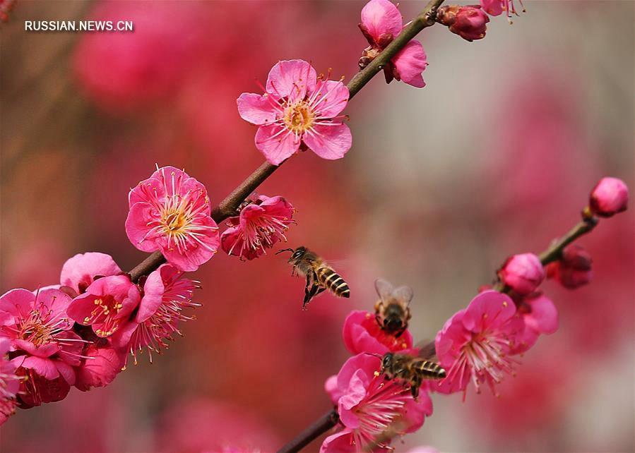 Цветение сливы -- символа весны в Китае