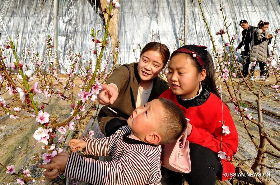 Цветущие персики среди морозов в провинции Хэбэй