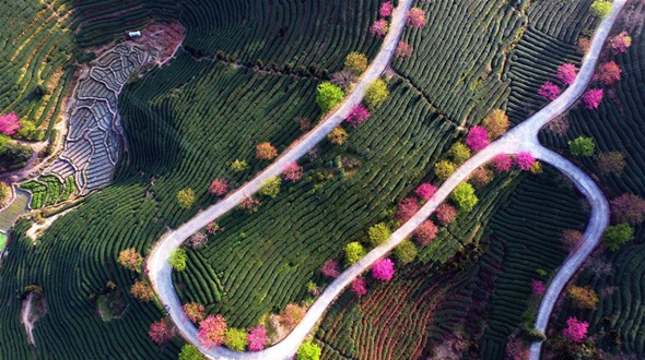 Цветущие вишневые деревья среди чайных плантаций в Фуцзяни