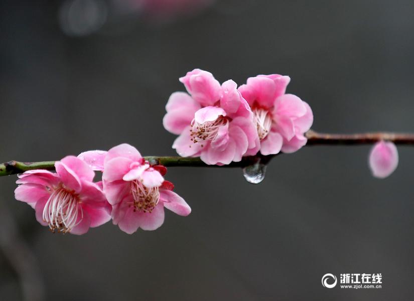 Осыпание цветов после дождя на улице Ханчжоу