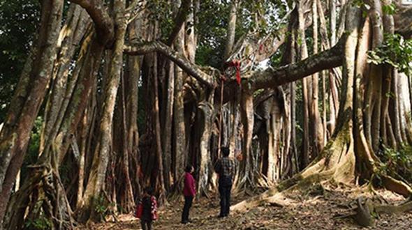 500-летний зеленый гигант на юго-западе Китая