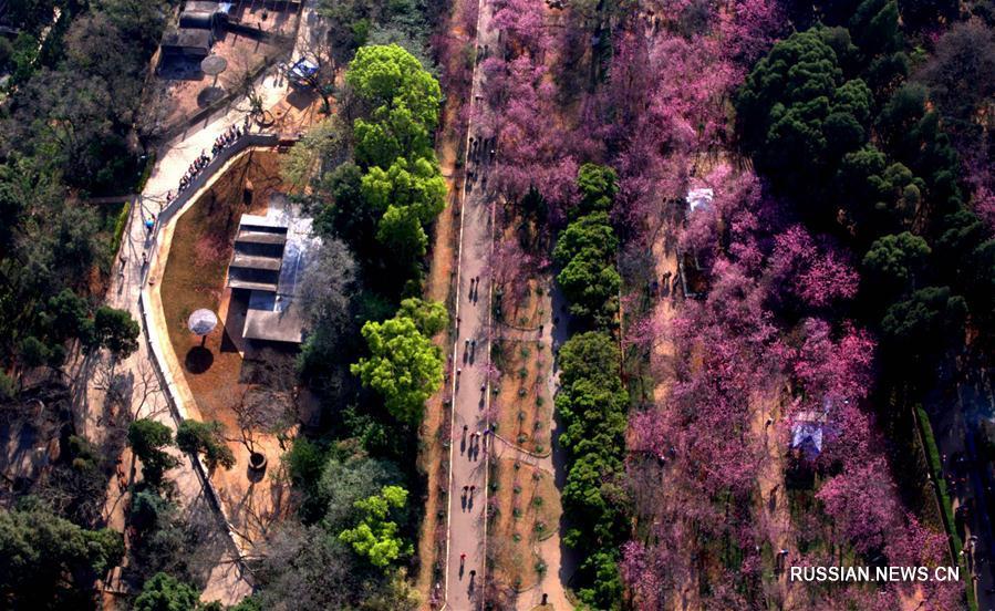 Пышное цветение вишни в Куньмине