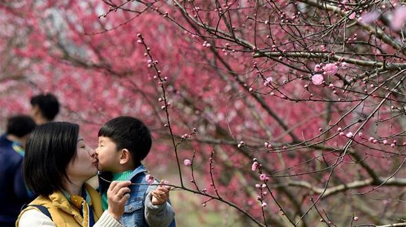 Цветение персиков в Хэфэе