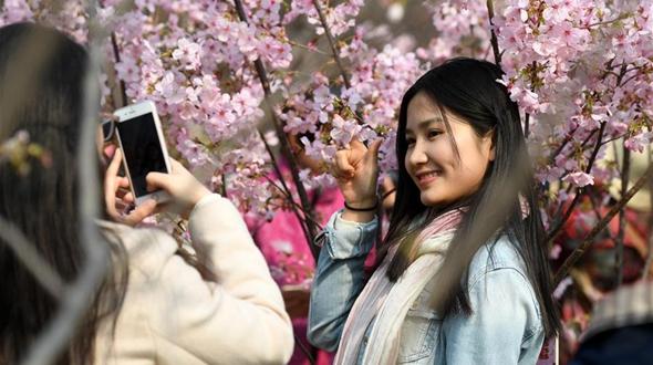 Вишня в цвету в пекинском парке