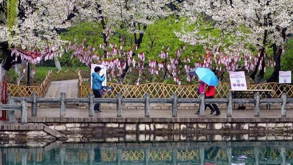 Цветущая вишня в Цзинане