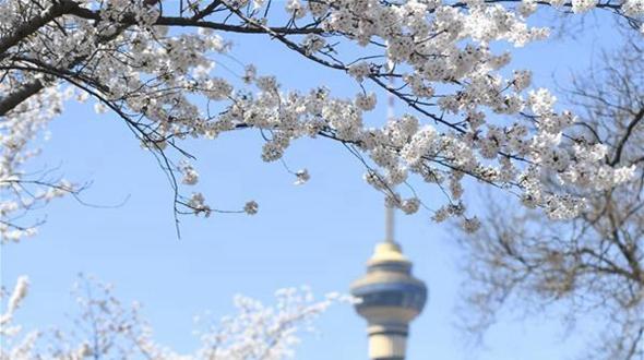 Пышное цветение сакуры в пекинском парке Юйюаньтань