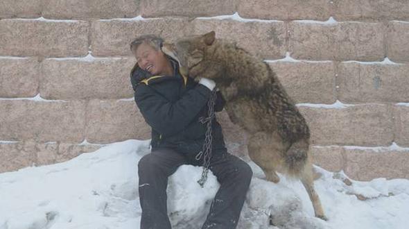 С волками жить, да не по-волчьи выть: как 71-летний китаец стал 'царем волков'