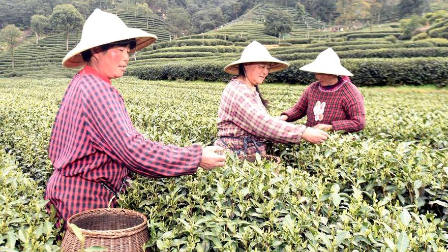 В Ханчжоу идет сбор чая 'Сиху Лунцзин'