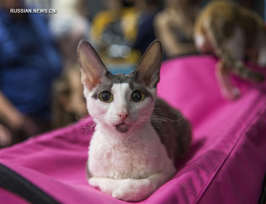 В Алматы проходит выставка кошек