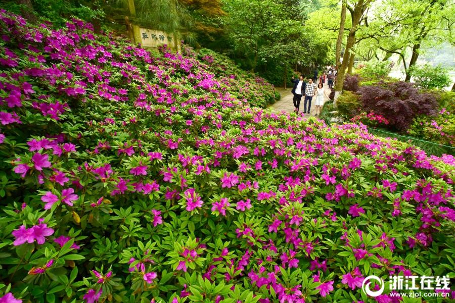 Расцветающие азалии у озера Сиху в г. Ханчжоу