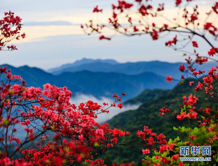Цветущие азалии в уезде Саньмэнь провинции Чжэцзян