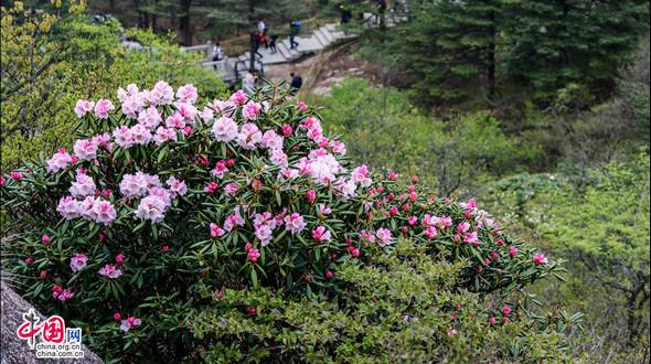 Бурно цветет азалия на горах Хуаншань