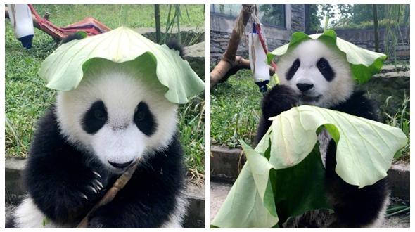 Милая панда в шляпке из лотосового листа